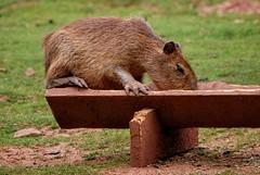 Baby Capybara (Alastair Montgomery) Tags: baby capybara hydrochoerus hydrochaeris