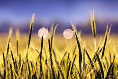 (Alin B.) Tags: summer nature spring wheat may grau mai ear spic alinbrotea