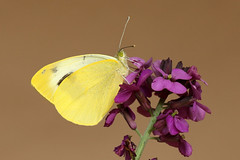 Canary Islands Large White  Pieris cheiranthi (Roger Wasley) Tags: macro butterfly butterflies endemic canaryislands largewhite pieridae pierscheiranthi