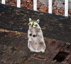 Raccoon next door (2) (iaakisa) Tags: animal raccoon procyonlotor frommybalcony