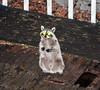 Raccoon next door (2) (iaakisa) Tags: animal raccoon procyonlotor frommybalcony
