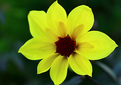Warm greeting (Carrie YL) Tags: flower beautiful yellow canon garden catchycolor greeting sunlights warmcolor