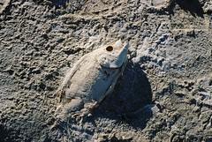 (Electric Fantastic) Tags: california fish abandoned film 35mm dead desert saltonsea bombaybeach