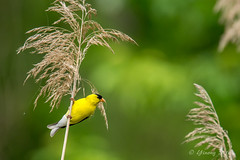 Gold finch - Glenhurst Meadows, NJ (yinongjiang) Tags: us newjersey unitedstates warren d7200