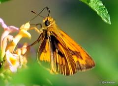 DSC_0844 (rachidH) Tags: flowers nepal lake nature blossoms butterflies insects blooms lantana pokhara fewa phewa papillons commondart potanthuspseudomaesa rachidh indiandartbutterfly