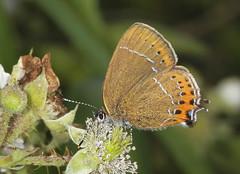 Butterfly - Black Hairstreak (Prank F) Tags: black macro nature closeup butterfly insect wildlife hairstreak wildlifetrust glapthorncowpastures northantsuk