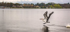 Australian Pelican (arnabjosephite) Tags: lake bird nature beautiful wildlife flight australian australia pelican canberra predator griffin hunt birdsofprey photooftheday australianpelican pelicanusconspicillatus lakegriffin photographersofbangladesh