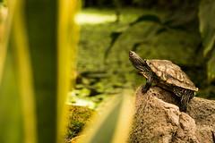 Du da oben..... (fiatluchs (aka Andreas Kah)) Tags: turtle tier schildkrte sayn nikkor105f28vr reptilien flickr animal bendorf rheinlandpfalz deutschland de