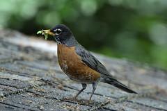 Takeout For The Family (samurai66) Tags: county robin birds illinois spring kane grubs songbirds