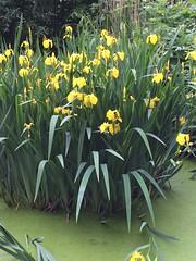 Foto 153 (siavogel) Tags: flowers pond vijver 2016366