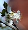 _MGL3758 Blommeblomst - Plum-flower from our Garden (I appreciate all the faves and visits many thanks) Tags: flowers nature blomster plumflower fromourgarden frahaven solveigøsterøschrøder blommeblomst