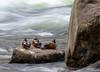 Harlequin Ducks (Happy Photographer) Tags: park longexposure wild nature duck long exposure wildlife national yellowstone harlequin amyhudechek nikon200500f56