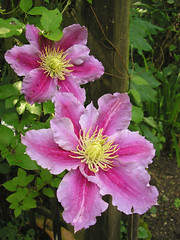 Clmatites (Estellanara) Tags: flower macro fleur