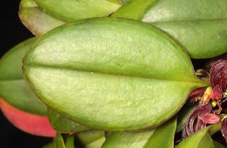 Round underside zootrophion orchid (Zootrophion hypodiscus) leaf
