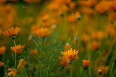 orange glow (mariola aga) Tags: chicagobotanicgarden glencoe garden flowerbed flowers orange petals green macro closeup dof