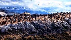 Islas del Canal (Miradortigre) Tags: patagonia argentina tierradelfuego terradelfuoco island isla cormoran kormorat aves birds nature landscape paisaje naturaleza wilderness wild salvaje mar sea beagle