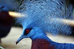 Rotbrust-Krontauben (ingrid eulenfan) Tags: zoo leipzig taube vogel federn rotbrustkrontauben
