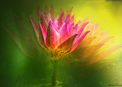 Seerose (novofotoo) Tags: natur blumen seerose motiv mehrfachbelichtung seerosengewchse