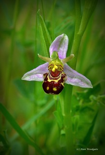 Bee Orchid - Buckinghamshire