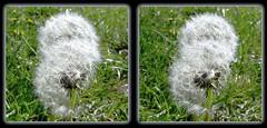 Unfinished Business - Parallel 3D (DarkOnus) Tags: macro closeup lumix stereogram 3d weed pennsylvania dandelion seeds panasonic business stereo seedhead unfinished parallel stereography buckscounty wishies dmcfz35 darkonus
