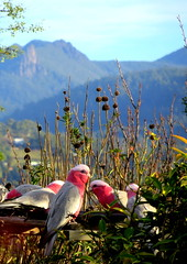 You're just a GALAH, mate..... (elliott.lani) Tags: pink trees mountain color colour bird nature beautiful birds animal animals outdoors grey view bright feeding vibrant feathers scenic bluesky foliage mount serene colourful lani cathedralrock allrightsreserved galahs galah naturephotography plumage mountwellington bluebackground cacatuaroseicapilla birdsfeeding pinkfeathers greyfeathers scenictasmania elliottlani lanielliott tasmanianview
