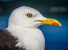 Hi There (dietmar-schwanitz) Tags: portrait eye birds animals closeup bokeh seagull gull birding beak vgel auge mwen nahaufnahme schnabel lightroom larus larusmarinus seemwe mantelmwe dietmarschwanitz nikond750 nikonafsnikkor24120mmf40ged