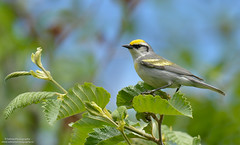 Brewster's Warbler (salmoteb@rogers.com) Tags: red