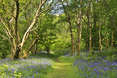 Bluebells in Scotland (maureen bracewell) Tags: wood uk flowers trees nature sunshine walking landscape scotland spring highlands track path wildflowers bluebell trossachs highlandsofscotland greenscene maureenbracewell bleubellwood
