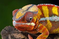 Panther Chameleon, CaptiveLight, Bournemouth, UK (rmk2112rmk) Tags: uk macro bokeh reptile chameleon bournemouth pantherchameleon furciferpardalis captivelight