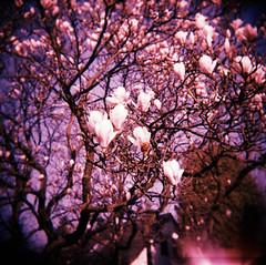 Magnolia (somekeepsakes) Tags: pink 120 6x6 film analog mediumformat germany square deutschland holga spring lomo xpro crossprocessed europa europe blossom toycamera lightleak bloom magnolia analogue blte vignette woca 2012 frhling quadratisch astia magnolie fujiastia100f mittelformat lichteinfall