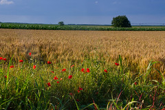 Poppies for Nana. (mathematikaren) Tags: flower field countryside village serbia farmland poppies balkans easterneurope vojvodina donauschwaben ravnoselo schowe vojvodenia