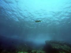 Puffer (AZDropTop) Tags: scuba diving