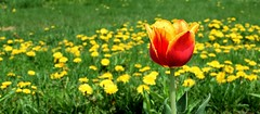 Beauty & the beast (vinnie saxon) Tags: flowers panorama nature colors grass garden nikon bokeh dandelion nikoniste