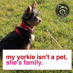 I bet the same is true for you. #yorkiesofinstagram #yorkielove... (itsayorkielife) Tags: yorkiememe yorkie yorkshireterrier quote