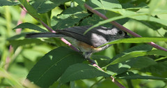 Tufted Titmouse (Phil Kenny) Tags: tuftedtitmouse