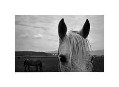 horses (Marek Pupk) Tags: leica blackandwhite bw horse film monochrome analog europe central documentary rangefinder slovakia ilford