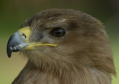 Prey's eye (ORIONSM) Tags: bird nature animal eyes beak raptor prey icbp sigma150500 pentaxk3