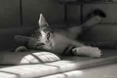 Hugo (leporcia) Tags: blackandwhite cats blancoynegro animals cat kitten feline chat kitty gatos gato felino animales katze gatto katzen animalplanet gatito