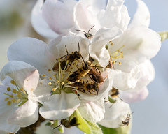 Male bees (andrenids?) sleeping in apple blossoms (Malus domestica) (tgpotterfield) Tags: usa apple westvirginia malus rosaceae greenbrierrivertrail malusdomestica greenbriercountywv