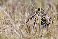 Snipe (johnthistle) Tags: maple lodge