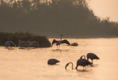 Also the flamingos are waiting the dawn (Massimo Tiga Pellicciardi) Tags: also flamingos waiting dawn valli di comacchio boscoforte santalberto fenicotteri rosa saline