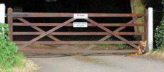 Fox On Guard?! (RiverCrouchWalker) Tags: fox vulpesvulpes gate southwoodhamferrers foxonguard animal essex suburban spring june 2016