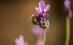 Bee (Janne Fairy) Tags: flower yellow canon garden pflanze violet lila depthoffield bee gelb blume biene 456 schrfentiefe canon500d 55250 55250isstm