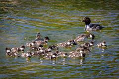 Goldeneye and ducklings (jorgen_hog) Tags: bird duckling wyoming grandtetonnp commongoldeneye schwabacherslanding