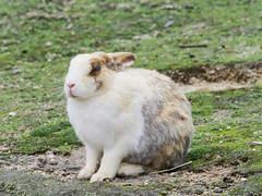 B6250563 (VANILLASKY0607) Tags: rabbit bunny bunnies nature animal japan photo wildlife wildanimal hydrangea rabbits rabbitisland wildrabbit okunoshima