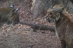 Bobcat (ajblake05) Tags: animals oregon portland unitedstates northamerica bobcat captive mammals oregonzoo lynxrufus vertebrates felidae multnomahcounty vertebrata