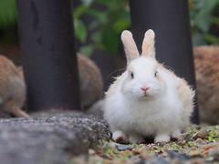 B6251371 (VANILLASKY0607) Tags: rabbit bunny bunnies nature animal japan photo wildlife wildanimal hydrangea rabbits rabbitisland wildrabbit okunoshima