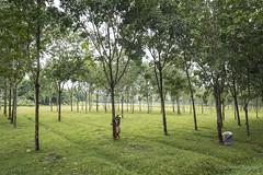 Srimangal-6316 (BohemianTraveler) Tags: asia tea bangladesh srimangal srimongol sreemangal