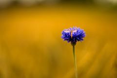 Tipula (matthiasstiefel) Tags: bokeh kornblume tipula weizenfeld supertakumar50mmf14 kohlschnake