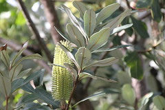 Banksia-integrifolia (alison.klein) Tags: wetlands mangroves sydneyolympicpark